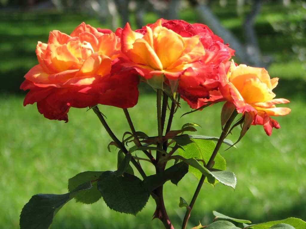 как посадить розу в грунт