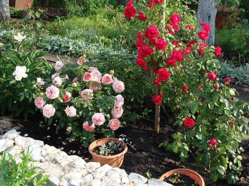 Если вы видите знак «ADR» - перед вами розы с повышенными декоративными признаками