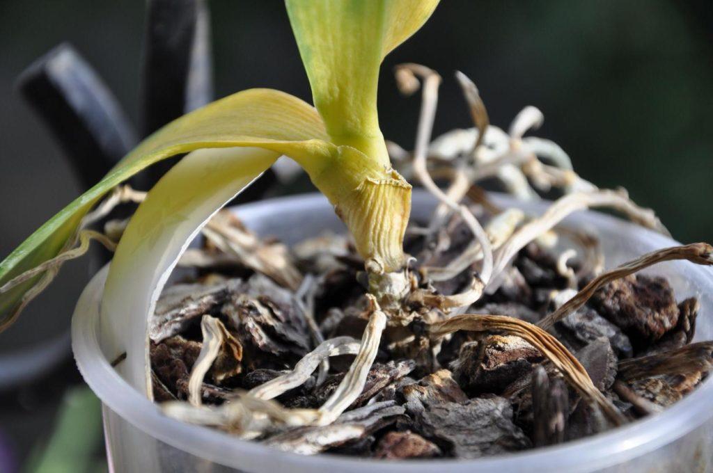 сухой корень