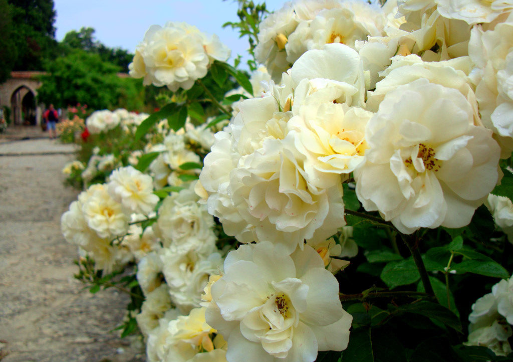 как посадить черенки роз осенью