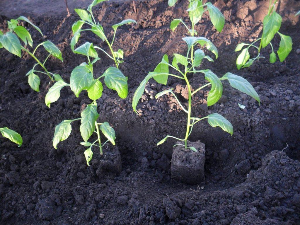 В огород перцы высаживают с наступлением тепла