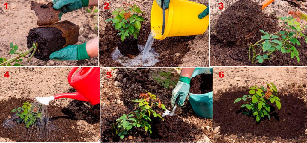 Как правильно высадить розы. Пошаговая инструкция