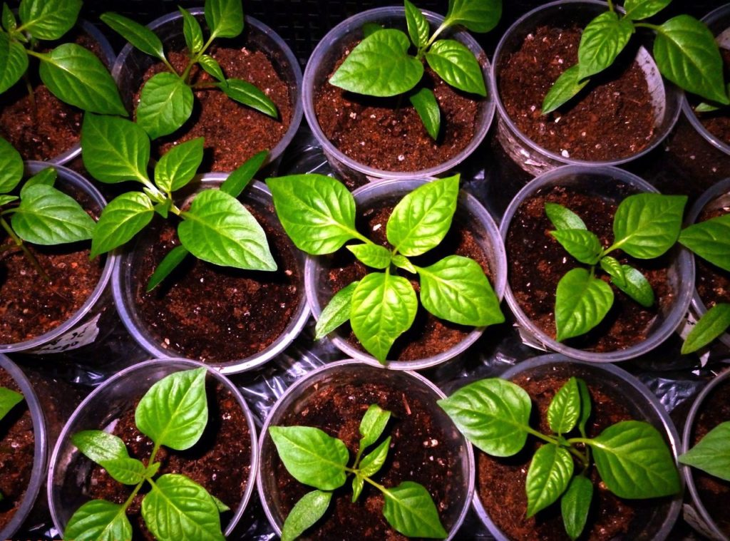 рассаду перцев следует выращивать заранее
