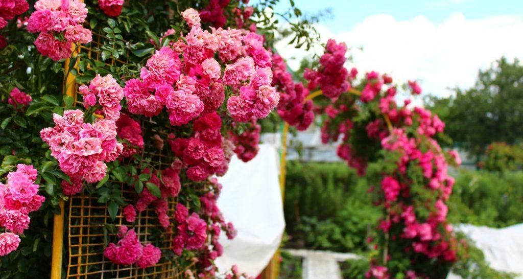 розы рамблеры плетистые