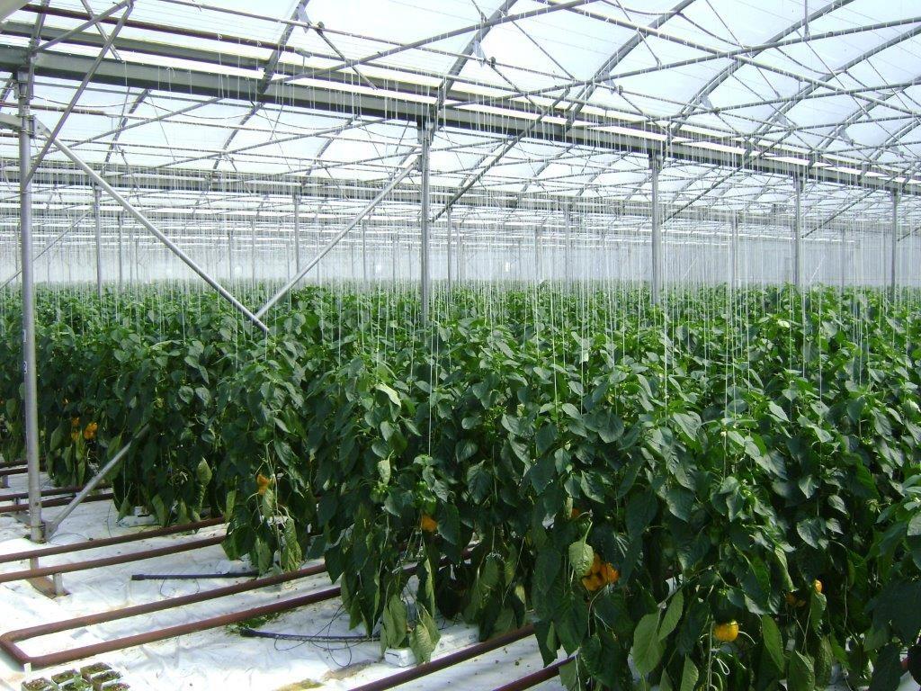 культуру выращивают в тепличных комплексах или парниках