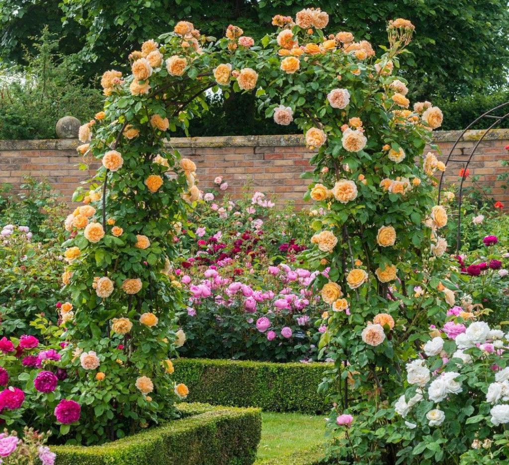 искусственно выведенные сорта роз