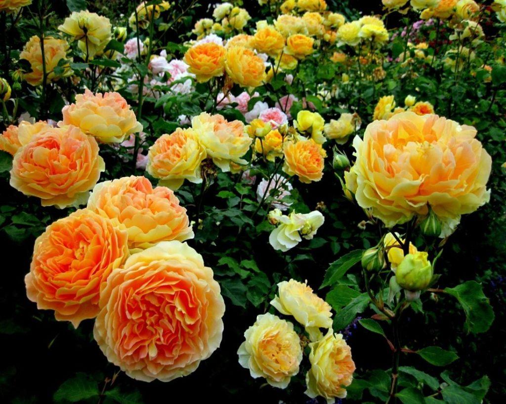 Розы довольно непривередливы к дополнительным подкормкам