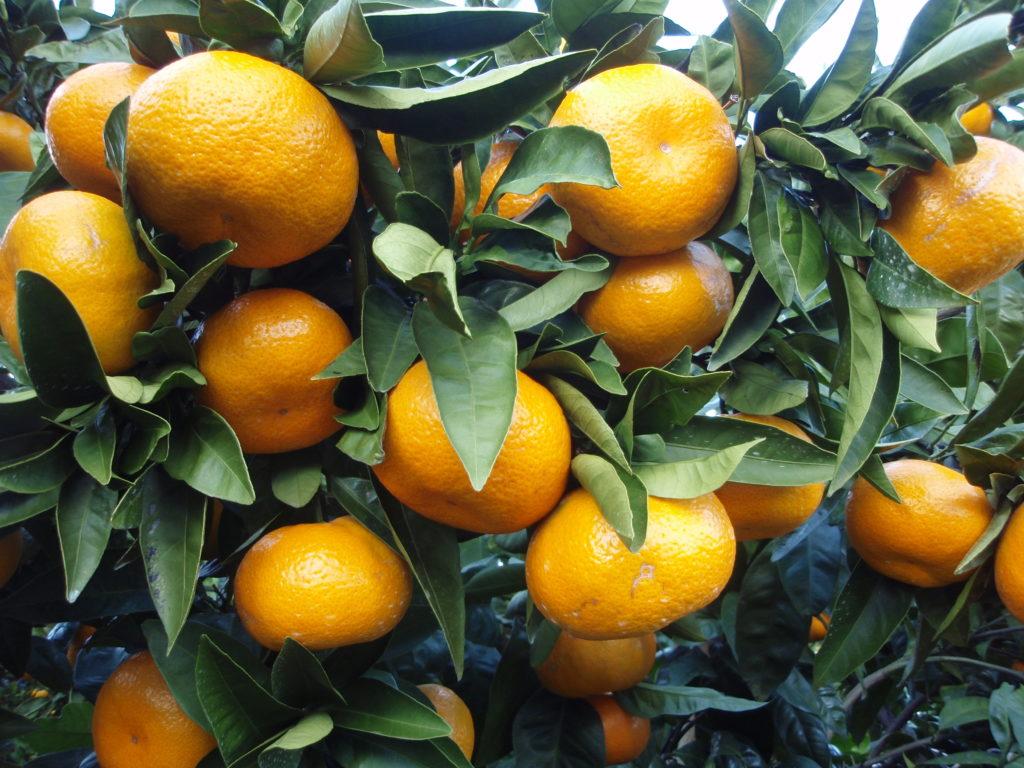 Мандарин, апельсин являются отличными удобрениями для домашних растений