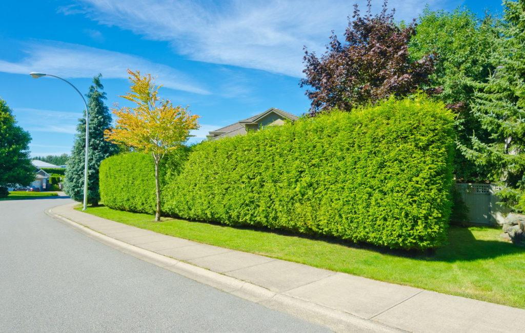 Быстрорастущая многолетняя вечнозеленая живая изгородь