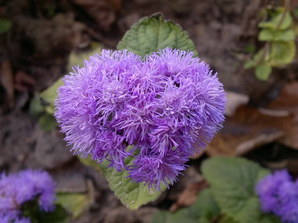 Яркий представитель вида неприхотливых цветов