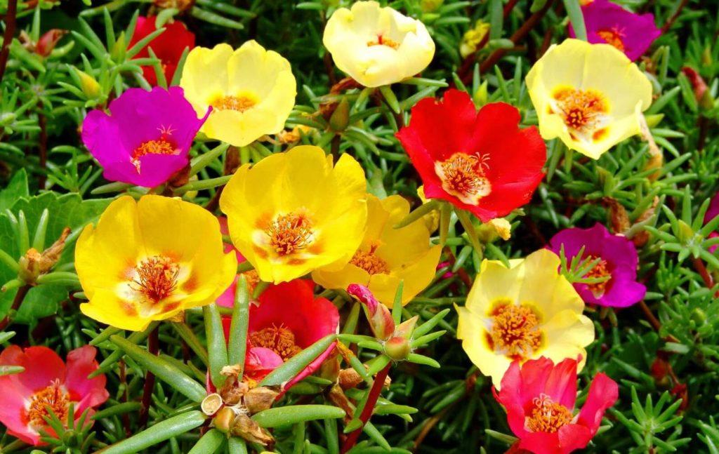 Весенник цветы для сада