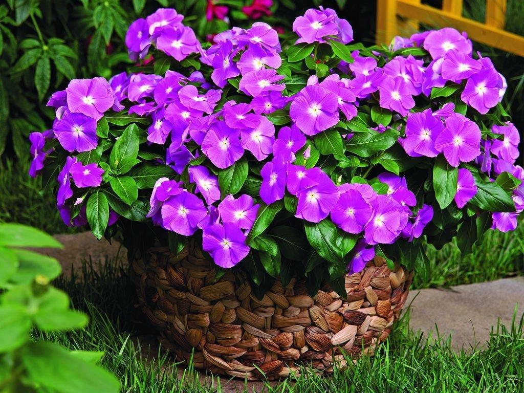 Цветы многолетние для сада
