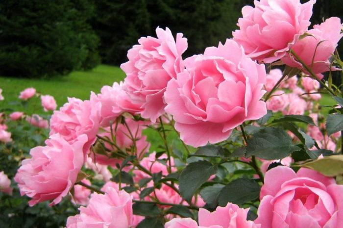 Как посадить розу — правильное выращивание весной и осенью в саду