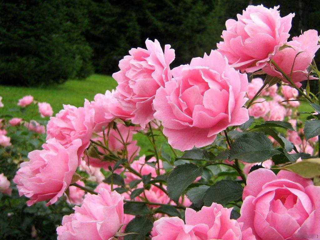 Как посадить розу: пошаговый план по выращиванию в грунте