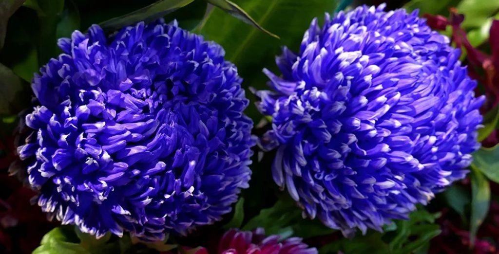 Астра — фото цветов