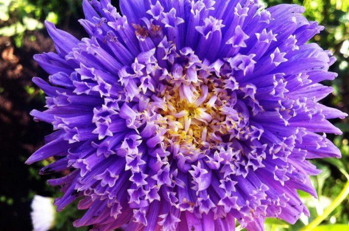 Астра: выращивание рассады и посадка в грунт, фото цветов