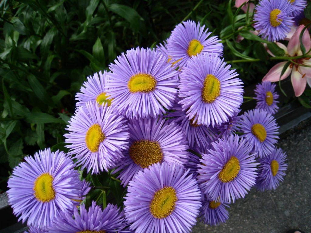 астра фото цветов