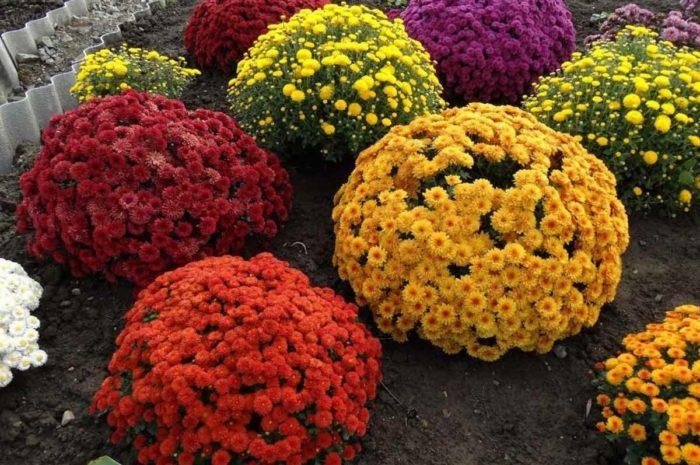 Хризантема садовая многолетняя: особенности ухода и размножения
